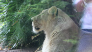 Stock Video Footage of Lioness at the zoo