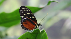 Butterfly sits on a leaf Stock Footage