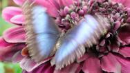 Stock Video Footage of Blue wings Butterfly on purple flower