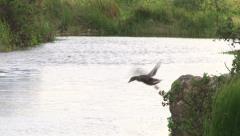 Mallard Jumping into Pond - stock footage