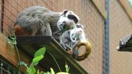 Stock Video Footage of Emperor tamarin monkeys