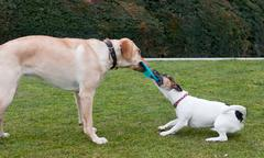 dogs play on a green grass - stock photo