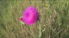 Flower of burdock Stock Footage