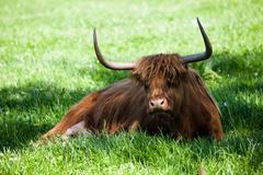 Scottish highland cow over green grass Stock Photos