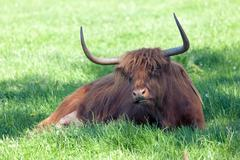 Scottish highland cow over green grass Stock Photos