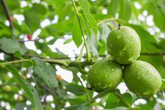 Green walnut Stock Photos