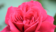 Stock Video Footage of Triple bud miracle red rose