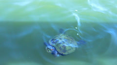 Turtle swims in wild pond. Video Stock Footage