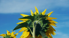 Close up of sunflower on a blue sky background, back view Stock Footage