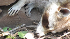 North American Racoon sleeping Close up Stock Footage
