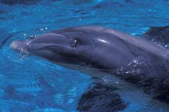 Atlantic bottlenose dolphin Stock Photos