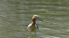 Vocal calls from an American Avocet Stock Footage