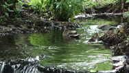 Stock Video Footage of ducklings running after their mother