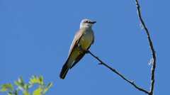 Western kingbird perching on tree branch while chirping Stock Footage
