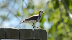Spotted sandpiper perched on woodpost displaying call notes Stock Footage