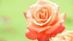 Isolated Orange rose Stock Footage