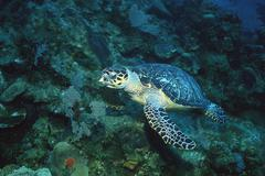 Hawksbill turtle, endangered species - stock photo