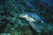 Stock Photo of Hawksbill turtle, endangered species