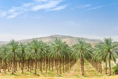 Date palm trees on orchard plantation in galilee Stock Photos