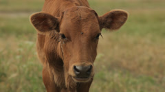 Brown cow grazing in the field Stock Footage