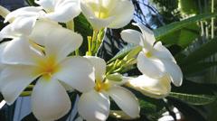 Plumeria tropical flower in full blossom Stock Footage