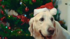 Stock Video Footage of Dog with christmas hat on head.