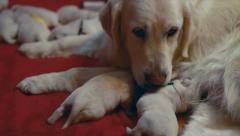 Labrador with two week old puppies - stock footage