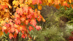 Stock Video Footage of Fall Maple Tree Leaves Blowing in the Wind