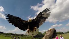 American bald eagle landing on leather glove close up slow motion Stock Footage