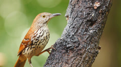 Brown thrasher Stock Footage
