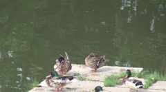 Green headed ducks on river edge, staying in group on concrete, cleaning itself  Stock Footage