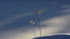 Two withered flowers covered with hoarfrost Stock Footage