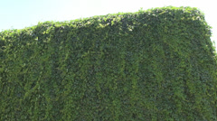 Green vine fully covering a high wall, beautiful sunny windy summer day outside Stock Footage