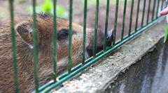 Small wild boar Stock Footage