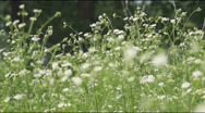 Stock Video Footage of daisies on a meadow
