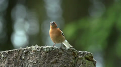 Common chaffinch - Fringilla coelebs Stock Footage