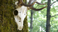 Deer's skull on a tree trunk - stock footage