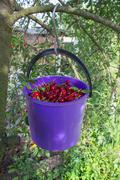 Bucket of cherries on a tree Stock Photos