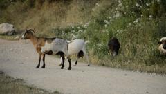 Goats Scratching Themselves Stock Footage