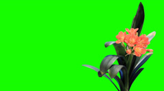 Stock Video Footage of Growth of Clivia flower buds green screen, FULL HD