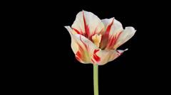 Yellow tulip bloom buds ALPHA matte, FULL HD Stock Footage