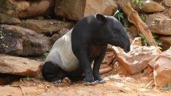 Asian tapir lying on wild rocky Stock Footage