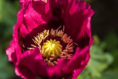 Opium poppy flower Stock Photos