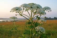 giant hogweed - stock photo