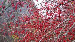 barberry bush - stock photo