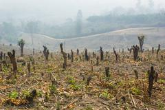 slash and burn cultivation, rainforest cut and burned to plant crops, thailan - stock photo