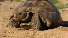 Spur-thighed tortoise - stock footage