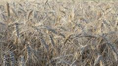 Wheat in sunlight beams Stock Footage