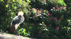 A Grey crowned crane is cleaning his feathers Stock Footage