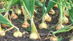 Gardening vegtables home grown onions ripening on allotment Stock Footage